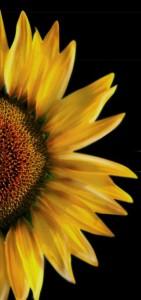 sunflower-credit-photo-presenterpro-posted-on-manufacturedhomeliving-com.jpg