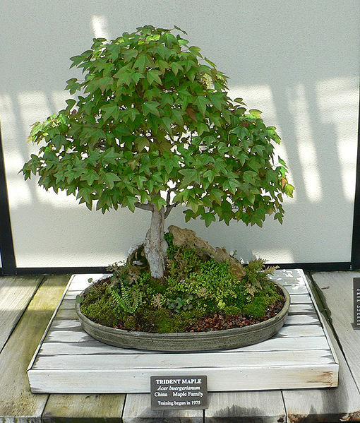 acer_buergerianum_bonsai-longwood_gardens_kenneth-square-chester-county-pennsylvania-pa-usa-posted-mhlivingnews-com-credit-wikicommons-