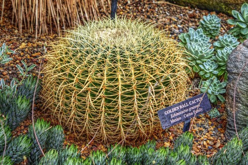 golden-ball-cactus-echinocactus_grusonii_longwood_gardens-kenneth-square-pa-usa-posted-mhlivingnew-com-